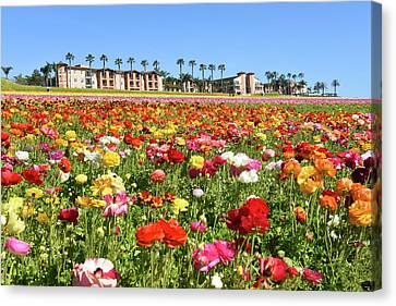 Canvas Print featuring the photograph Carlsbad Flower Field by Dung Ma
