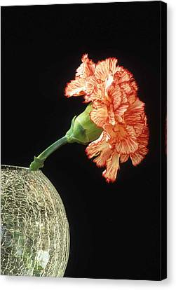 Carnation Canvas Print by Laurie Paci