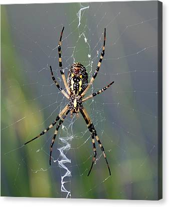 Carolina Garden Spider Canvas Print