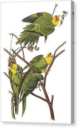 Parakeet Canvas Print - Carolina Parakeet by John James Audubon