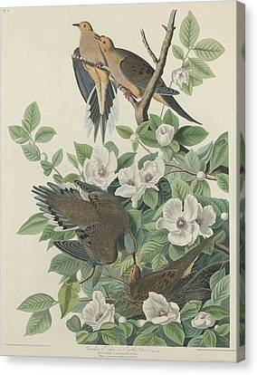 Carolina Pigeon Or Turtle Dove Canvas Print by Anton Oreshkin