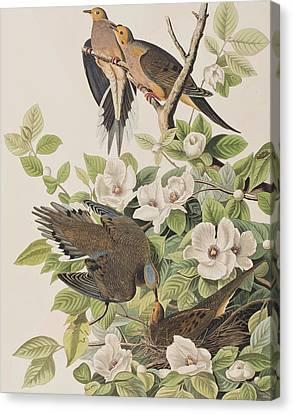 Carolina Turtle Dove Canvas Print by John James Audubon