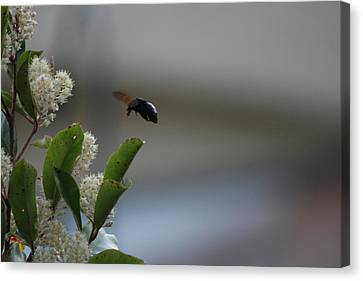 Carpenter Bee Landing Canvas Print by Colleen Cornelius