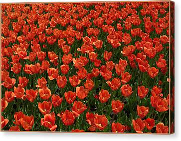 Carpet Of Tulips Canvas Print by Mindy Newman