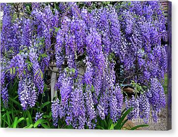 Cascading Wisteria 2 Canvas Print by Kaye Menner