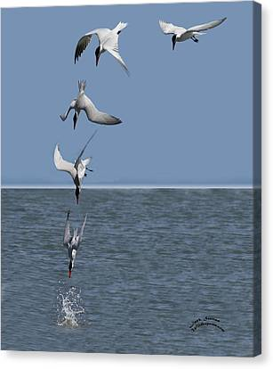 Bif Canvas Print - Caspian Tern Composite by Jack Sutton