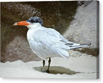 Caspian Tern On A Sandy Spot Canvas Print by Richard Bryce and Family