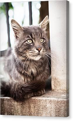 Cat #2480 Canvas Print