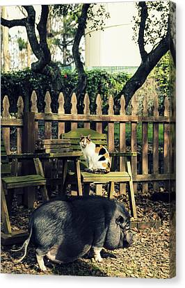 Cat And Pig  Canvas Print