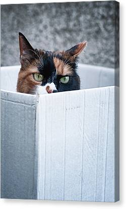 Canvas Print featuring the photograph Cat In The Box by Laura Melis