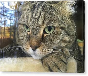 Cat Looking Outdoors Canvas Print by Susan Leggett