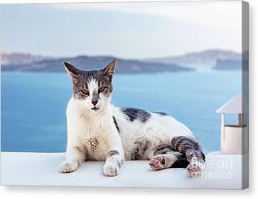 Cat Lying On Stone Wall In Oia Town, Santorini, Greece. Aegean Sea  Canvas Print by Michal Bednarek