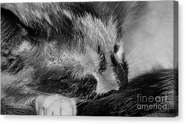 Canvas Print featuring the photograph Cat Nap by Juls Adams