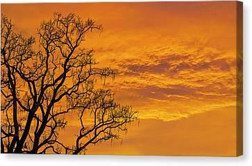 Catalpa Tree Sunrise Canvas Print