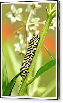 Caterpillar On Milkweed Plant Canvas Print by Geraldine Scull