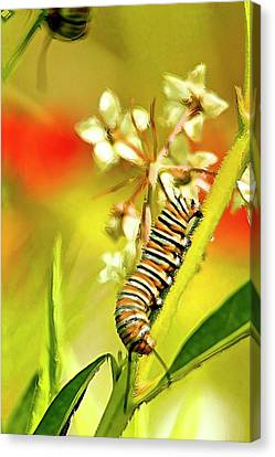 Caterpillar Stage 2 Canvas Print by Geraldine Scull