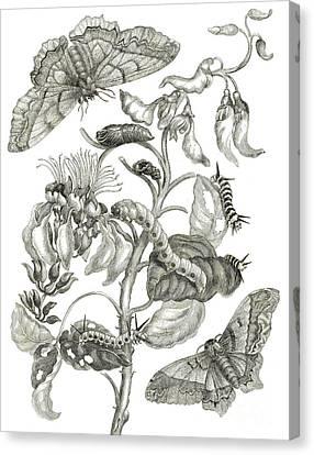 Caterpillars, Butterflies, And Flower Canvas Print by Maria Sibylla Graff Merian