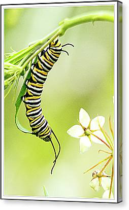 Caterpiller On Plant Canvas Print by Geraldine Scull