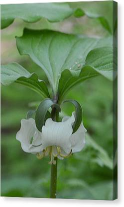 Canvas Print featuring the photograph Catesby Trillium by Linda Geiger