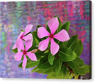 Catharanthus Roseus Canvas Print by Shane Miles Roane Photography