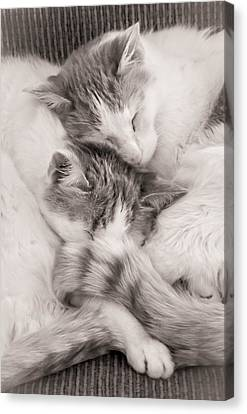 Sleeping Cat Canvas Print - Catnapping by Jim Hughes