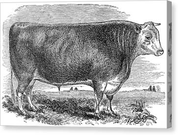 Cattle, C1880 Canvas Print by Granger