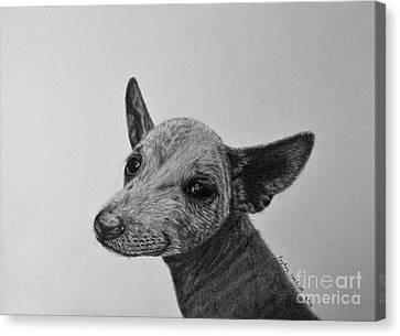 Cattle Dog Ready To Run Canvas Print by Payton VanBeek