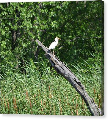 Cattle Egret 3 Canvas Print by Ruth Housley