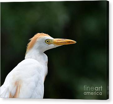 Cattle Egret Close-up Canvas Print by Al Powell Photography USA