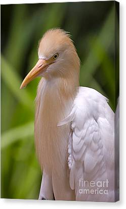 Cattle Egret Canvas Print by Louise Heusinkveld