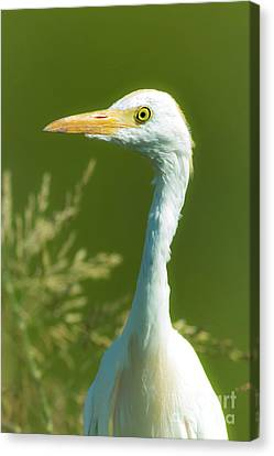 Cabin Window Canvas Print - Cattle Egret  by Robert Frederick