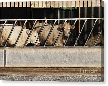 Cattle Feeding In A Barn Canvas Print by Andy Smy