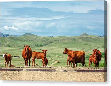 Angus Steer Canvas Print - Cattle Guards by Todd Klassy
