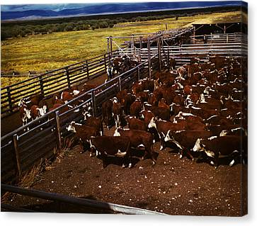 Cattle In Corrals On Ranch Canvas Print by Artistic Panda
