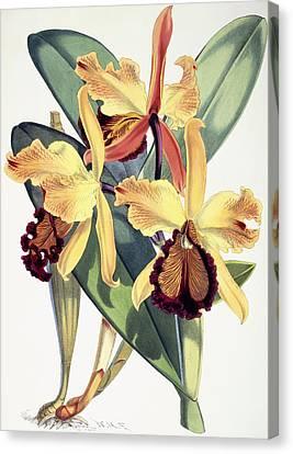 Cattleya Dowiana Canvas Print by Walter Hood Fitch