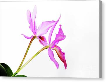 Cattleya Guatemalensis Canvas Print by Charline Xia