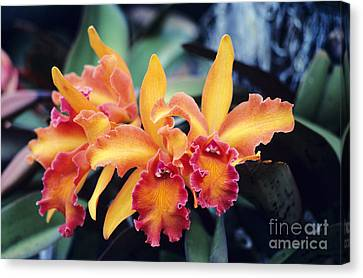 Cattleya Orchids Canvas Print by Allan Seiden - Printscapes