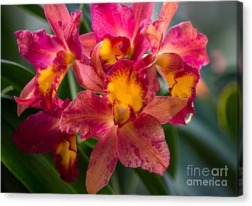 Cattleya Orchids Canvas Print by Fiona Craig