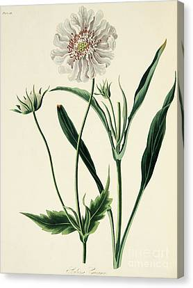 Caucasean Scabious Canvas Print by Margaret Roscoe