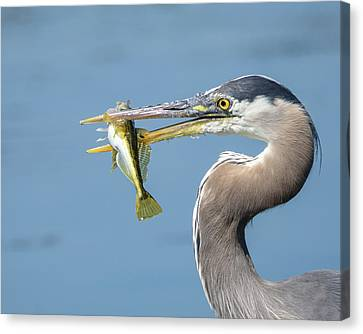 Caught One Canvas Print by Keith Boone
