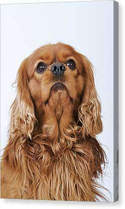 Cavalier King Charles Spaniel Looking Up, Studio Shot Canvas Print by Martin Harvey