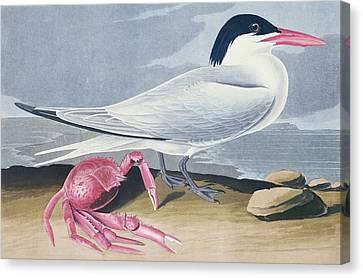 Cayenne Tern Canvas Print by John James Audubon