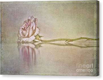 Cecile Brunner Canvas Print by Linda Lees