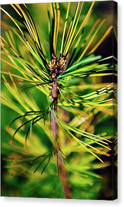 Cedar Branch Spring Canvas Print by Sergey Nosov