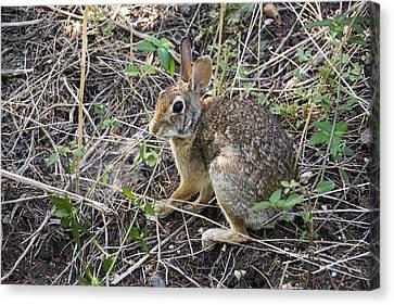 Cedar Hill Bunny Canvas Print