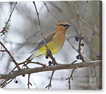Cedar Wax Wing-2 Canvas Print by Robert Pearson