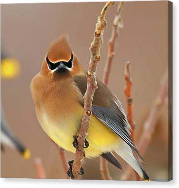 Cedar Wax Wing Canvas Print by Carl Shaw
