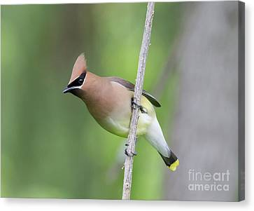 Canvas Print featuring the photograph Cedar Waxwing 1 by Chris Scroggins