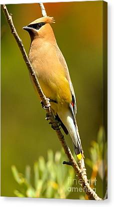 Cedar Waxwing Canvas Print by Adam Jewell