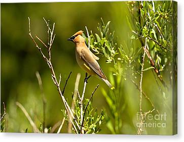 Cedar Waxwing At Glacier Canvas Print by Adam Jewell
